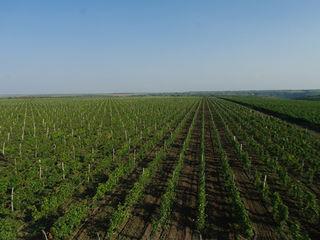 Винзавод + 260 Га виноградных плантаций.