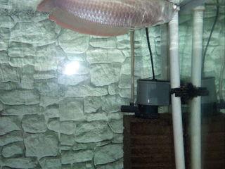 Продаю араванну   краснохвостого сама   малька маллавии   и золотых рыбок. араванна 30 см 2000 лей