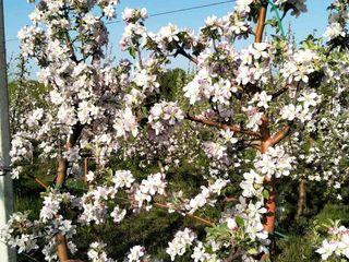 Livada de mere super intensiva 5 hectare , copacii adusi din Italia