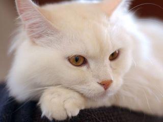 Белый породистый  пушистый котенок подросток. Турецкая Ангора.
