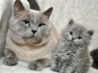 Британский кот приглашает на вязку. Бельцы. Вязка. Британец