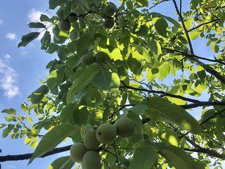 Ореховый сад/ livada de nuci