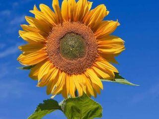 Achizitionam floarea soarelui pentru ulei 6 lei / kg