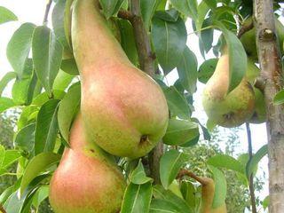 Pomii fructiferi