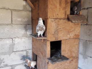 Бакинские бойные голуби!