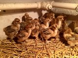 Цыплята Курапатчатой Брамы по 65 лей