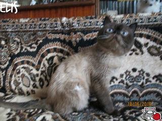 шикарный кот экстремал экзот колор-пойнт,видео
