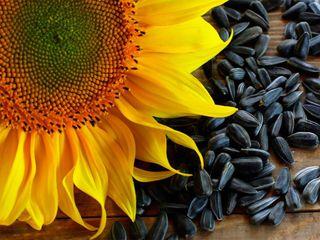 Cumpărăm porumb și floarea soarelui în cantități mari.Kукуруза. подсолнечник.