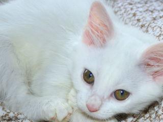 Белая пушистая кошечка котенок. Турецкая Ангора.
