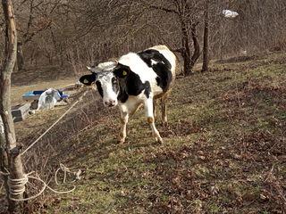 Vindem 2 vaci de lapte