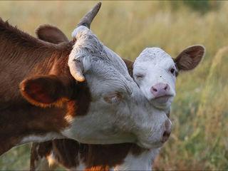 Vaci junci cai buhai la carne și crestere ! закупаем :коров быков лошадей телок ! transport gratis