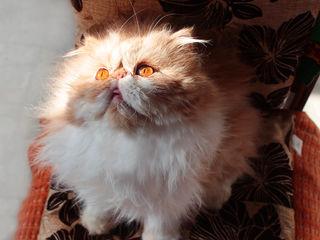 Персидский красавчик ищет любви!