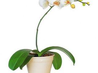 Orhidee in ghiveci