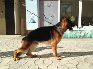 Вычесывание,мойка,сушка ,стрижка собак крупных пород
