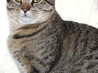 Котик подросток породы Тайгер.