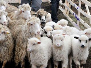 Cumpar oi  cirlani si capre toata moldova , ofer pret bun !  in diferite cantitati ! achitarea pe lo