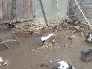 продам попугаев дек.курей мандаринок фазанов павлинов