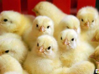Цыплята Пуй суточные.