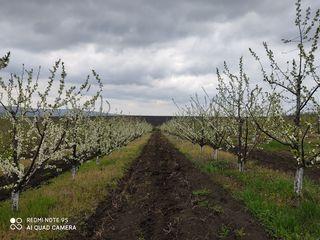 O afacere. Se vinde livada de pruni in rod anul 6. La 40 km de la Chișinău