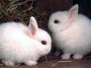 Декоративные крольчата.Хомяки.Крысята.