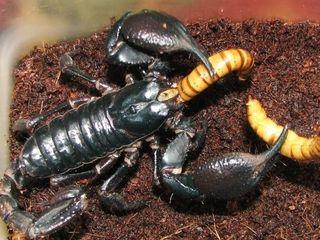 Взрослая самка Императорского скорпиона. Хороший аппетит