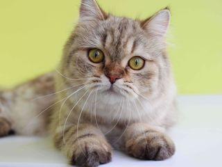 Vînd pisica highlight straight