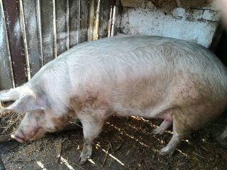 Vind porc