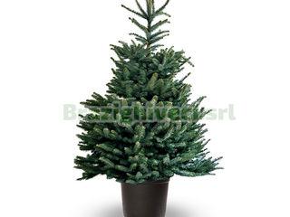 Brazi in ghiveci. pihta. Brazi argintii. Ёлки в горшках. Пихты. Голубые елки.