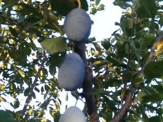 продам молодой сад. яблоко,слива,груша(общая площадь 3га) земля  консолидирована