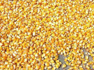 Продам кукурузу 2 тонны