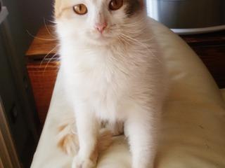 Домашняя нежная красавица-кошка окраса Арлекин в дар !