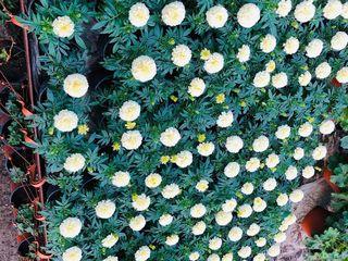 Flori pentru gradina si terasa