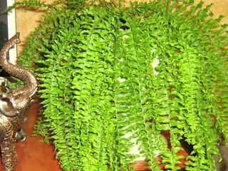 Папоротники, кактусы, филодендрон, зефирантес, бегония, кливия