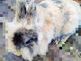 карликовые кролик
