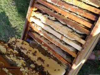 Продам пчел, пчелосемьи, отводки. Albini
