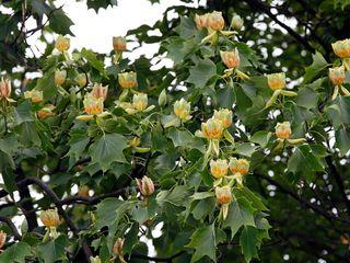 Тюльпановое дерево (Liriodendron Tulipifera)