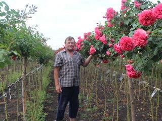 Большой выбор штамбовых роз и декоративных растений