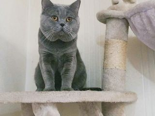 Шотландский прямоухий (скоттиш страйт) кот приглашает невесту в гости!