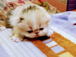 Pisici persiani ecstrimal ,rasa pura se gatesc de vinzare /