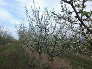 Vind livada de prune ( sort Stenley )