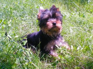Йоркширский терьер / Yorkshire terrier