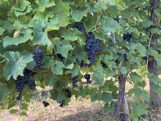 Vind plantatie vița de vie, Moldova, Muscat Italia,Ialovenschii ustoicevÎi.