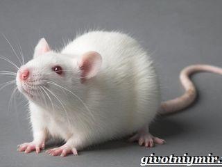 Куплю декоративную белую крысу в Бэлць