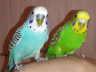Акция! волнистые попугаи - 100 лей