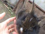 iepurasi decorativi/ Карликовые Кролики