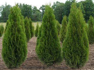 Reduceri de pina la 30% !!!!!plante decorative in assortiment.thuja occidentalis 'smaragd'.