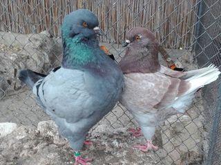 Продам голубей!!