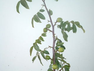 Pomi de nuc altoiti