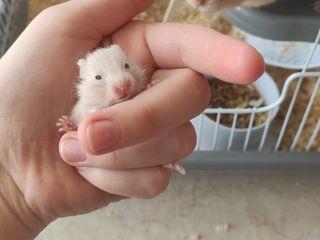 Vând hamsteri sirieni .