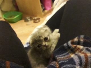 Шотландсий котенок - scotish-fold